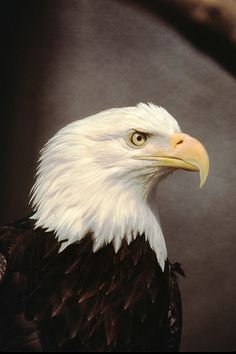 Mature bald eagles have white heads and long, heavy yellow beaks. Photo credit: Herbert Lange