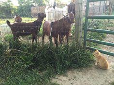 Tiny checking on the boys 🐐 and saying happy Friday everyone! 🐱  #friday #happyfriday #kitty #goat #goats #babygoats #babygoat #fridayfeeling #fridayfun #itsfriday #fridays #goodfriday #farm #farmlife #kitten #cats #cat #catsofinstagram #catoftheday #catlover #catstagram #catsagram #catlovers #catlove #kittens #kittylove #kittycat #kitties #cute #cuteanimals