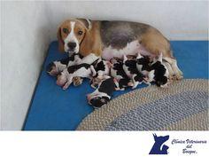 CLÍNICA VETERINARIA DEL BOSQUE. ¿Cómo cuidar a un perro recién nacido? Cuando tenemos que alimentar a los cachorros sin la presencia de la madre, se les suele proporcionar sustituto de leche de perra en biberones. Los cachorros son muy sensibles a la hipotermia y pueden llegar a morir por esta causa. Necesitan una temperatura entre los 24-26 grados. Si no está la madre, se recomienda tener la habitación a esta temperatura o proveerles una fuente de calor para lograr mantener temperatura…