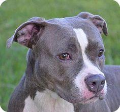 Blue nose pitbull, Pitbull and Ears on Pinterest