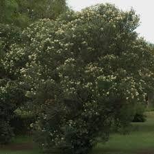 Buddleja salviifolia - Google Search Shrubs, Google Search, Medium, Plants, Shrub, Plant, Planets, Medium Long Hairstyles
