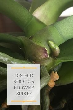 Orchid Root or Flower Spike? Orchids In Water, Indoor Orchids, Orchids Garden, Indoor Plants, Potted Plants, Rare Orchids, White Orchids, Air Plants, Orchid Plant Care