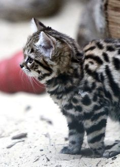 Black-Footed kitten (Felis nigripes) born at the Philadelphia zoo, June 2014 I Love Cats, Big Cats, Cool Cats, Baby Kittens, Cats And Kittens, Crazy Cat Lady, Crazy Cats, Black Footed Cat, Domestic Cat Breeds