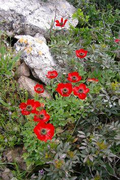 ~J   Flowers in Israel