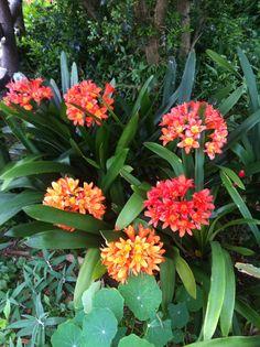 Clovis in bloom Bloom, Garden, Plants, Garten, Lawn And Garden, Gardens, Plant, Gardening, Outdoor