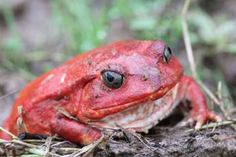 The aptly named tomato frog. Photo by: Tom Corcoran.