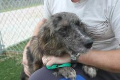 Becca is an adoptable Australian Shepherd Dog in Texas City, TX. Such a sweet girl, already a favourite of the staff and volunteers. ap....