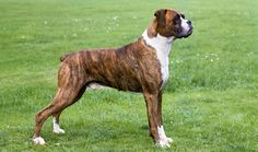 The Boxer was bred specifically with the intent of bringing all of the best characteristics of guard dogs into one single breed. Brindle Boxer, Boxer Bringé, Boxer Dog Breed, Boxer Puppies, Boxer Love, Dane Dog, Top Dog Breeds, Dog Breeds Pictures, Large Dog Breeds