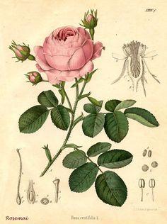 Botanique rose