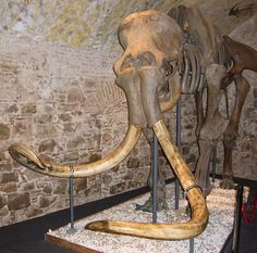 Woolly mammoth - Wikiwand