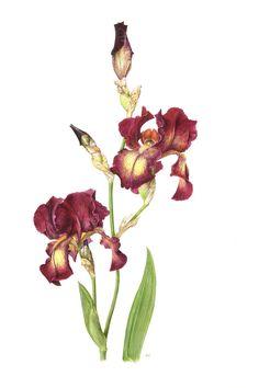 Coloured Pencil Work - Roger Reynolds Botanical Art