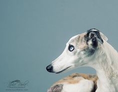 Elderly blue eyed whippet by Julie Poole Photography