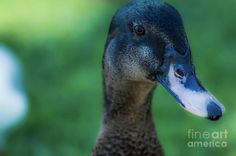 Mama Duck 1 Photograph by Naomi Burgess #duck #animals #photography