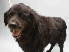 SAFE 9-28-2015 --- SUPER URGENT Brooklyn Center LUCKY – A1052200  MALE, BLACK, NEWFOUNDLAND MIX, 8 yrs OWNER SUR – EVALUATE, NO HOLD Reason PERS PROB Intake condition EXAM REQ Intake Date 09/21/2015