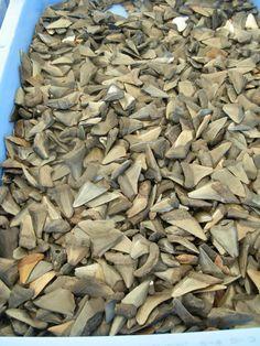 Tub full of shark's teeth.  Venice, FL