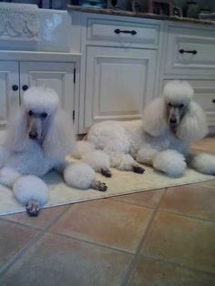 Noah & Monroe -they have found the best place to be around dinner time!! #Poodle