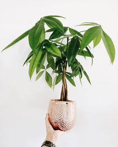 The money tree, also known as 'Pachira Aquatica' Tall Plants, Large Plants, Indoor Plants, Feng Shui, Pachira Aquatica, Money Trees, Sun And Water, Interior Plants, Snake Plant
