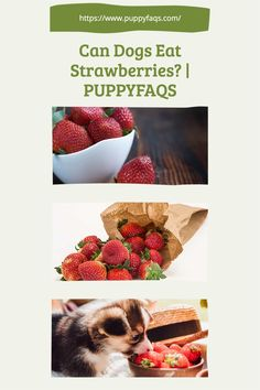 Dogs can eat strawberries as long as they are not laced with pesticides. They also need to have a balanced diet of other fruits and vegetables, so don't make this their only source of food! And of course always consult your veterinarian about what is safe for your pup to eat. This pin includes the link to an article on our website that goes into more detail on how you should feed your dog strawberries if it's ok for them at all. Can Dogs Eat Strawberries, Dog Safety, Balanced Diet, Food Lists, Healthy Treats, Fruits And Vegetables, Dog Food Recipes, Pup, Strawberry