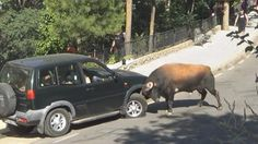 Pissed off Bull shows off his strength