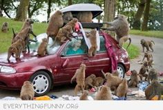 funny animals, monkeys, funny pictures, funni, south africa, safari, parks, funny images, cape town