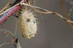 Wild Cucumber (Echinocystis lobata)   бешеный  огурец  разбросал  семена.