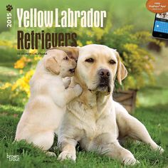 Yellow Labrador Retrievers 2015 Calendars ~ several styles available (other dog breeds too) at http://www.doggiechecks.com/calendars/Yellow-Lab.php