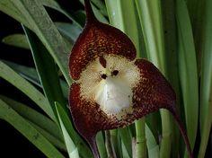 A Incrível Orquídea Macaco!