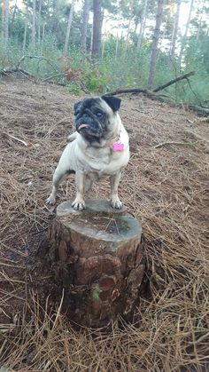 Dolly the pug #pug #mops #doglover #boswandeling