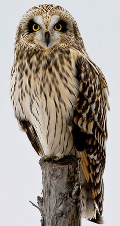 Short-eared Owl has a large range, estimated globally at 10,000,000 square kilometers. Native to Europe, Asia, and North America and introduced to Cuba, this bird prefers forest, grassland, wetland, and shrubland ecosystems.