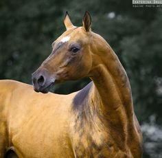 Akhal Teke- with their unique conformation and often striking and shimmery coat colors, they are quite amazing.