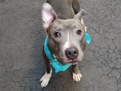 A1079148_Fetty.TO BE DESTROYED 07/02/16 Fetty is still very much a puppy at only a year old. Sadly his owner passed away and the person who took him in is unable to keep him. Fetty is friendly around adults and children but could benefit from training and socialization so he can learn how to make friends with other dogs. An experienced owner is needed tonight to give Fetty the chance to be the best dog he can be.
