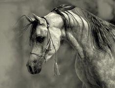 The Arab horse:  intelligent, gentle, refined ...