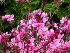 Gaura 'Passionate Rainbow' Wand Flower is covered with clusters of pink flowers in summer. Its foliage is edged in white, and new growth emerges pink. This is beloved by hummingbirds and butterflies, is deer-resistant and is available today in the nursery at Westport Winery Garden Resort. Open daily 11-7.