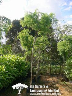 T010801dalbergia Oliveri Tamalan Tree Whole Plant Nursery Supplies Plants
