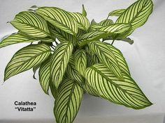 Calathea Vitatta - Pflanze für schattigen Standort. Mag absolut keine Sonne.