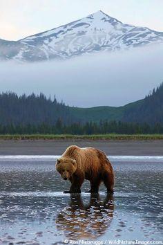 Brown bear looking for clams, Lake Clark National Park, Alaska.