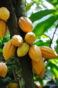 Cacao Tree, zones but can be kept in a container for other zones. Bark from the cacao tree can be soaked in water to create a gel to reverse hair loss!