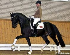 Totilas' son Tolegro. I love that he is wearing a helmet while schooling dressage!