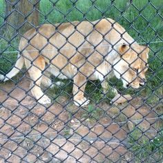 "Leo's like, ""thanks for this scent bag enrichment, but where's the piñata?!"" Sorry Leo, we will give you a piñata again very soon! #ThanksButNoThanks #animal #scent #enrichment #bag #blt #bearliontiger #lion #lionsofinstagram #instalion #bigcatsofinstagram #LionLanguage #noahsark #noahsarkanimalsanctuary #locustgrove #georgia @noahsarkclub"