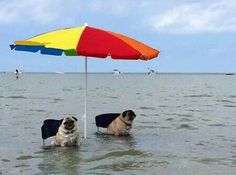Beach pugs, I can see my Jake enjoying this!