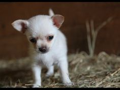 Lola the Chihuahua Puppy Playing With Two Baby Goats is All Kinds of Cute - Neatorama