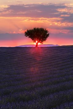 Lavenders Tree Sunset - https://youtu.be/wjcSf_cZgo4 https://youtu.be/wjcSf_cZgo4 Our last evening in Valensole (Provence, France) delivered this beautiful and somehow soft sunset, where the sun came out from behind a cloud just before it hit the horizon. I caught this shot with the sun behind the tree making some interesting flares in my 70-200mm f/2.8L I lens.
