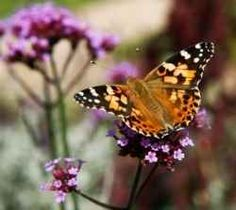 Painted Lady Butterflies and How to Attract them