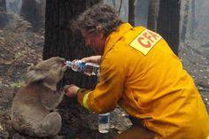 Bombeiro hidratando um coala durante fortes incêndios florestas na Austrália em 2009. - As 30 imagens mais impactantes de todos os tempos