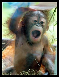 OMG, there's a baby orangutan!   Flickr - Photo Sharing!