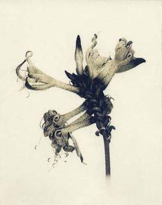 "Flowers in Neutral Moment ""Kangaroo Paw"" Polaroid image transfer 8x10 archival pigment print Photo by Soichi Oshika"