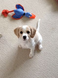 Cavachon Puppy - Lily at 11 weeks old
