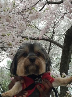 Paw-Parazzi for May. Kola is a 5 year's old Morkie from Inglewood California.  His bark is his calling card. And he loves to play tug of war with his leash.