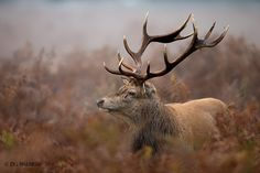 Stag in the Mist - Our blog about red deer photography at   http://www.dgwildlife.com/blog/2014/8/red-deer-photography-during-the-annual-rut  Thank you for visiting :)