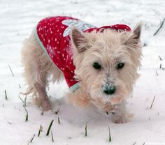 2013 Snow Days with the Puppies   #dog #westie #snow